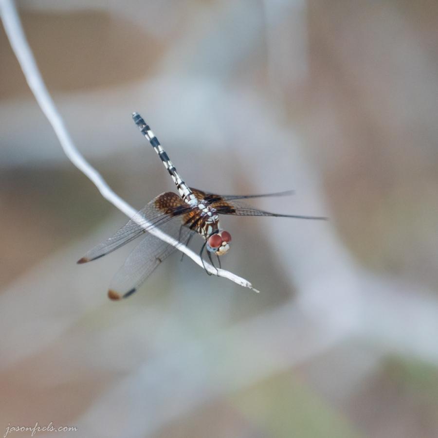 Dragonfly at Inks Lake