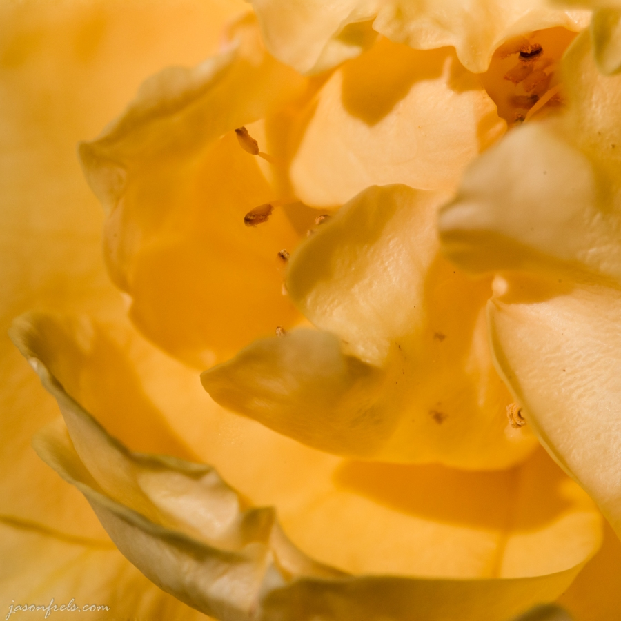 Focus-Stacked Close-up of Julia Child Rose
