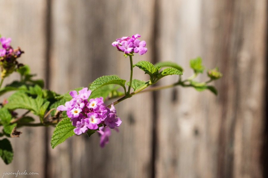 Lantana Against an Old Wooden Fence