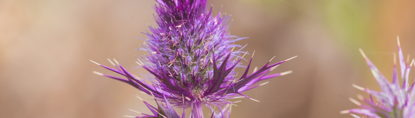 Leavenworth's Eryngo Wildflower