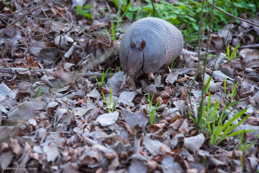 Armadillo-Colorado-Bend