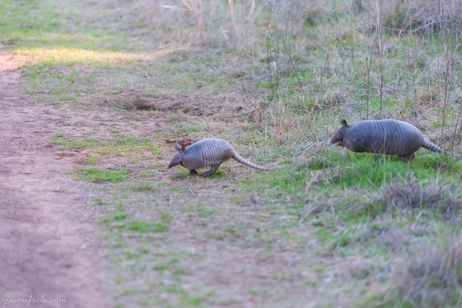 Armadillos-Colorado-Bend