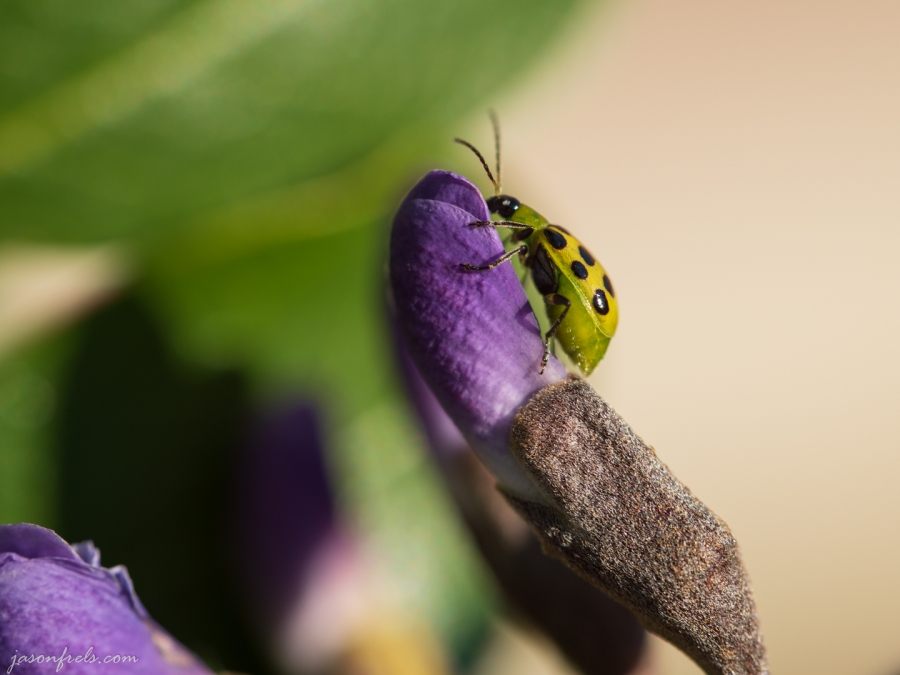 Cucumber Beetle on a Mountain Laurel Bud