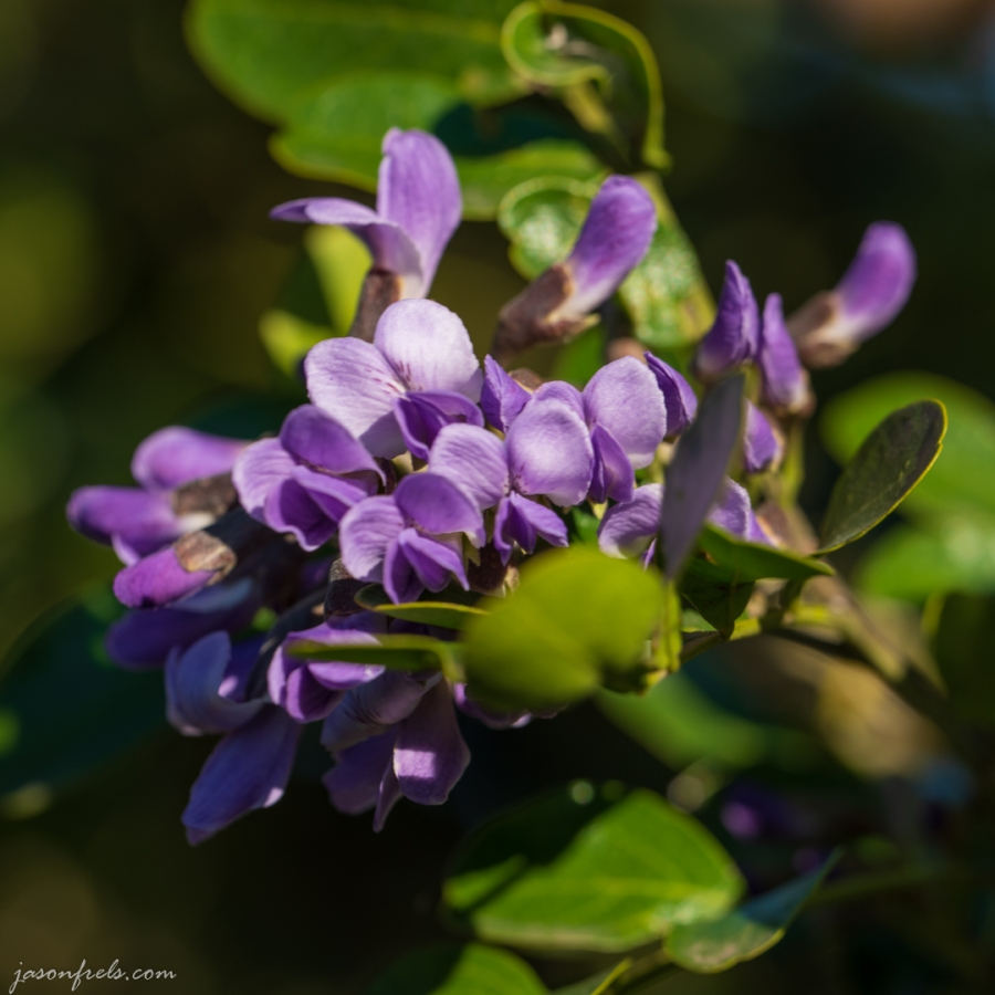 Mountain-Laurel-Close-Up-3