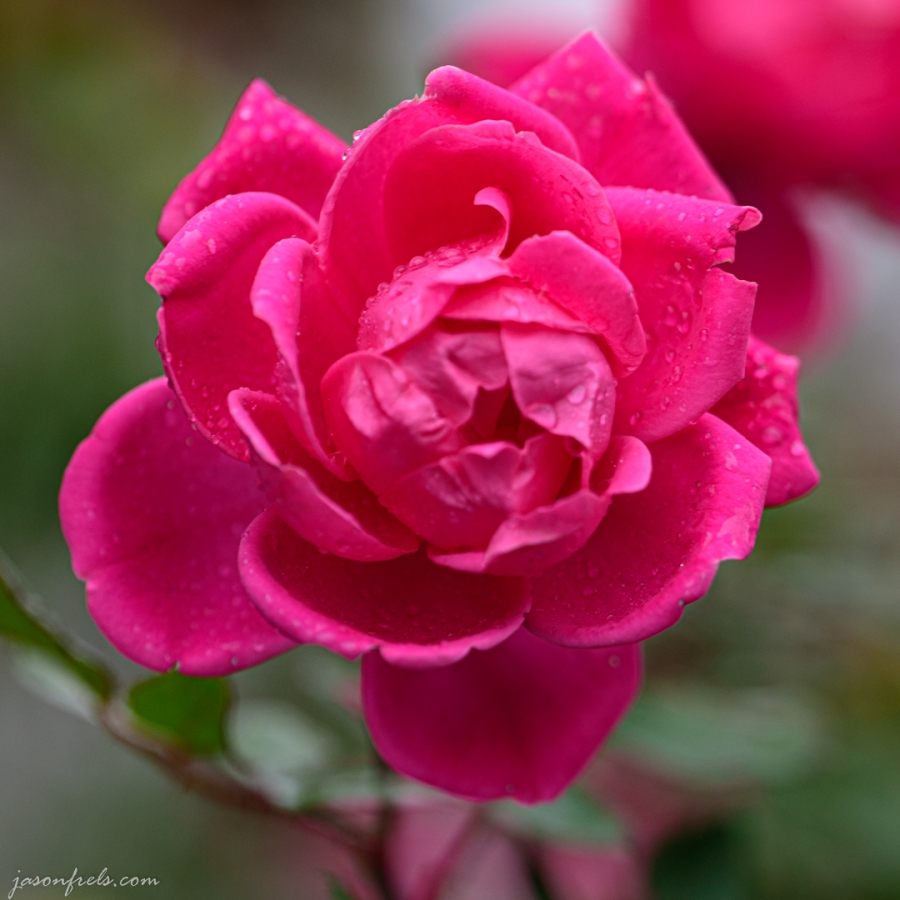 pink-rose-close-up