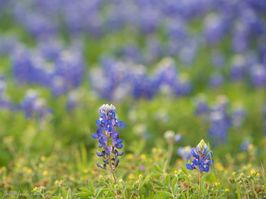 Bluebonnet Close Up