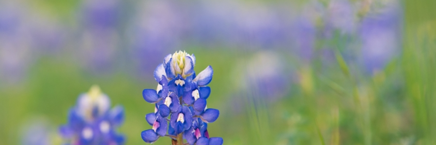 Isolated Bluebonnet Close Up