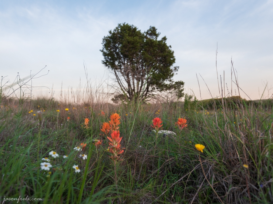 Wildflowers at Balcones Canyonlands National Wildlife Refuge