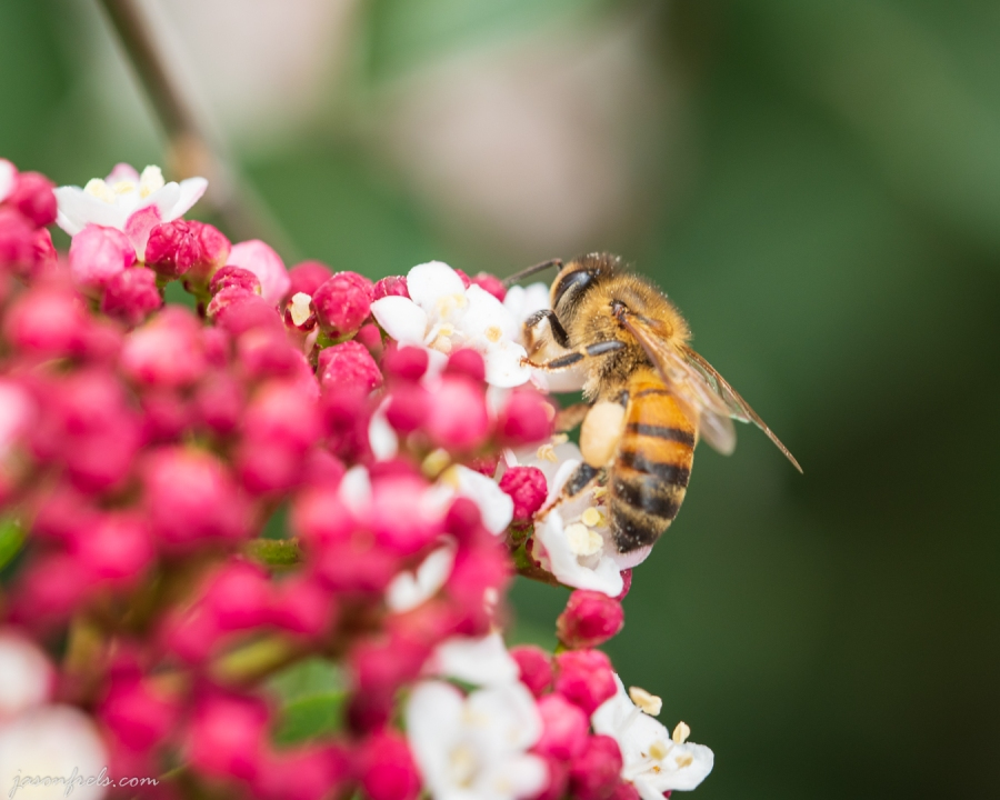 A Bee on a Viburnum