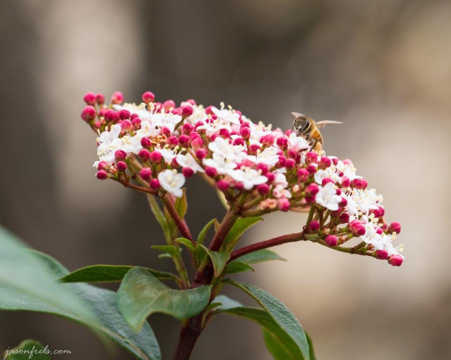 Bee-close-up-viburnum-2