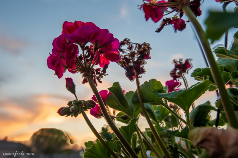 Sunset-Thru-Geranium-ghosted