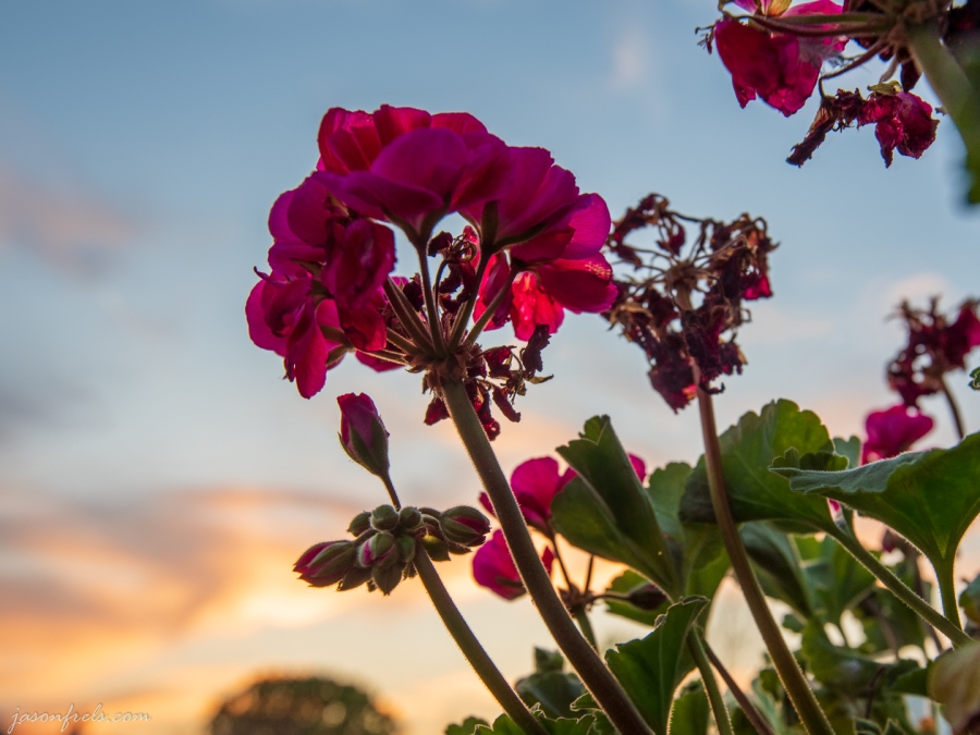 HDR sunset through a geranium