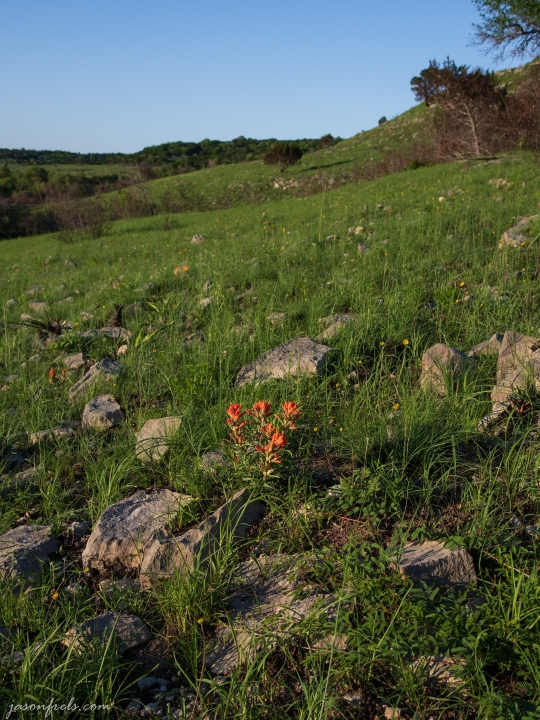Indian Paintbrush Among the Stones