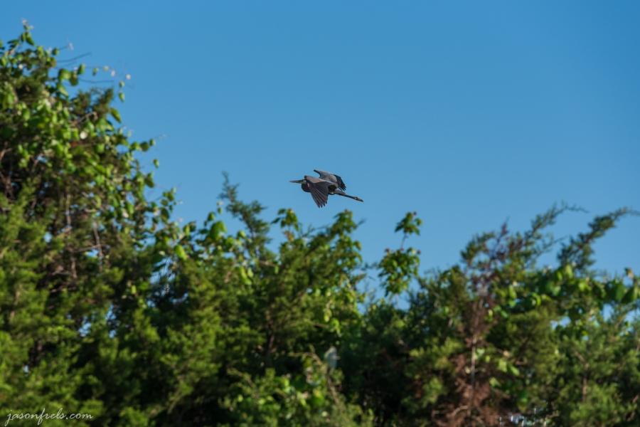 Gray-Heron-Flying