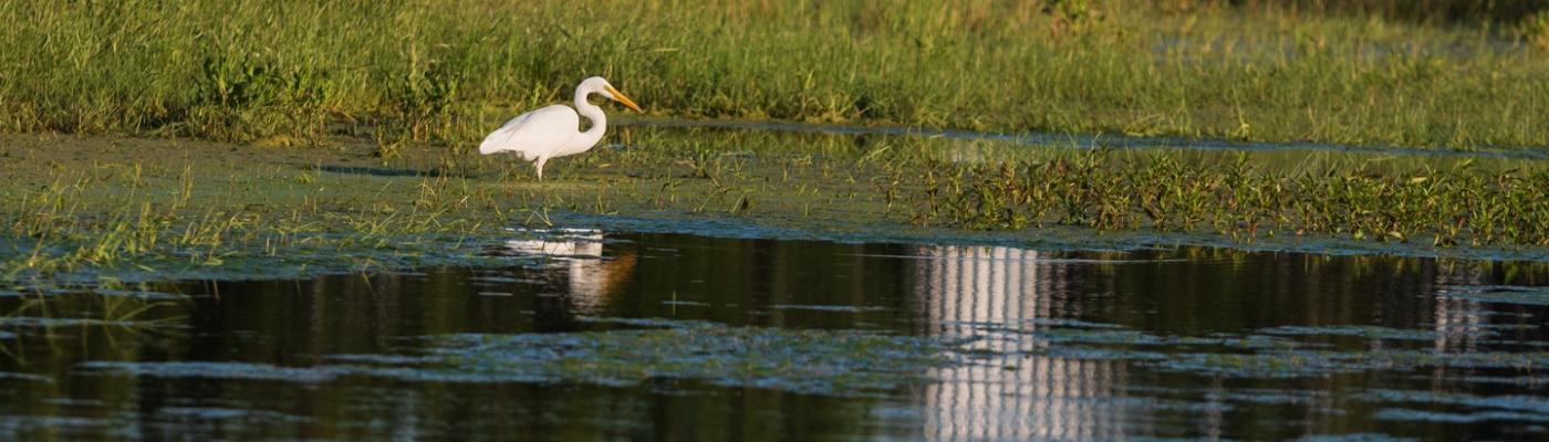 White Heron in a Neighborhood Pond
