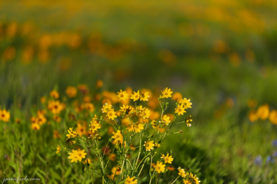 Yellow Wildflowers with Blurred Background