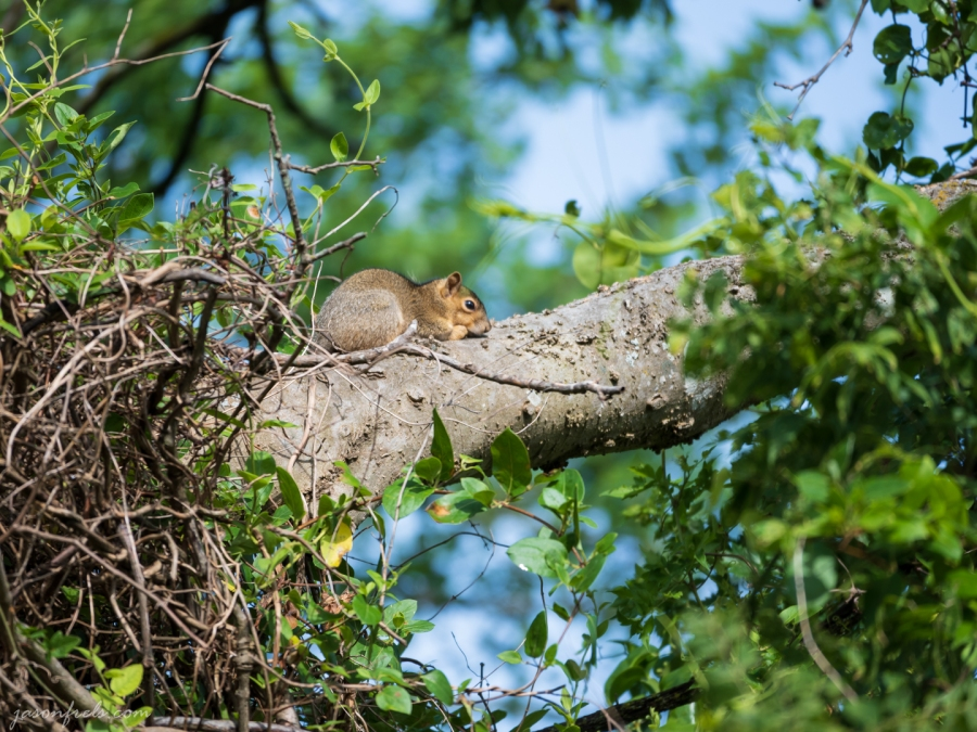 Squirrel Sunning Himself on a Tree Branch