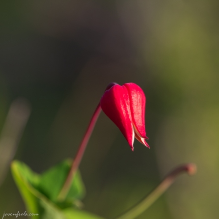 Wildflowers-Balcones-Canyonlands-2