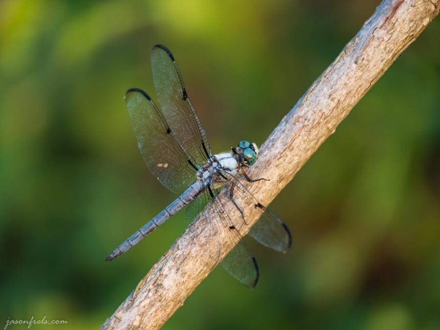 Dragnonfly