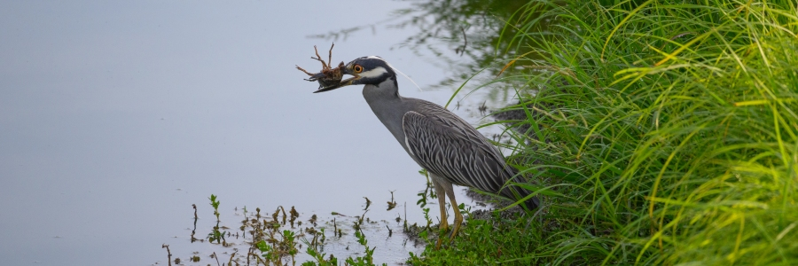 Heron with a Crawfish