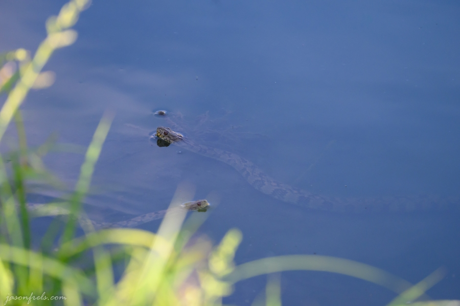 Watersnake-2