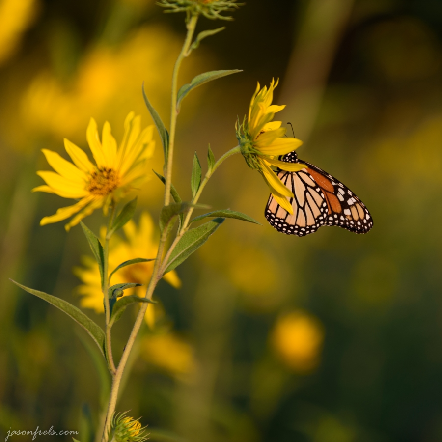 Butterfly in the sunflowers