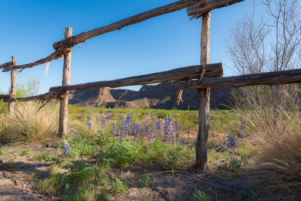 Bluebonnets on Fence Line in Big Bend Ranch State Park