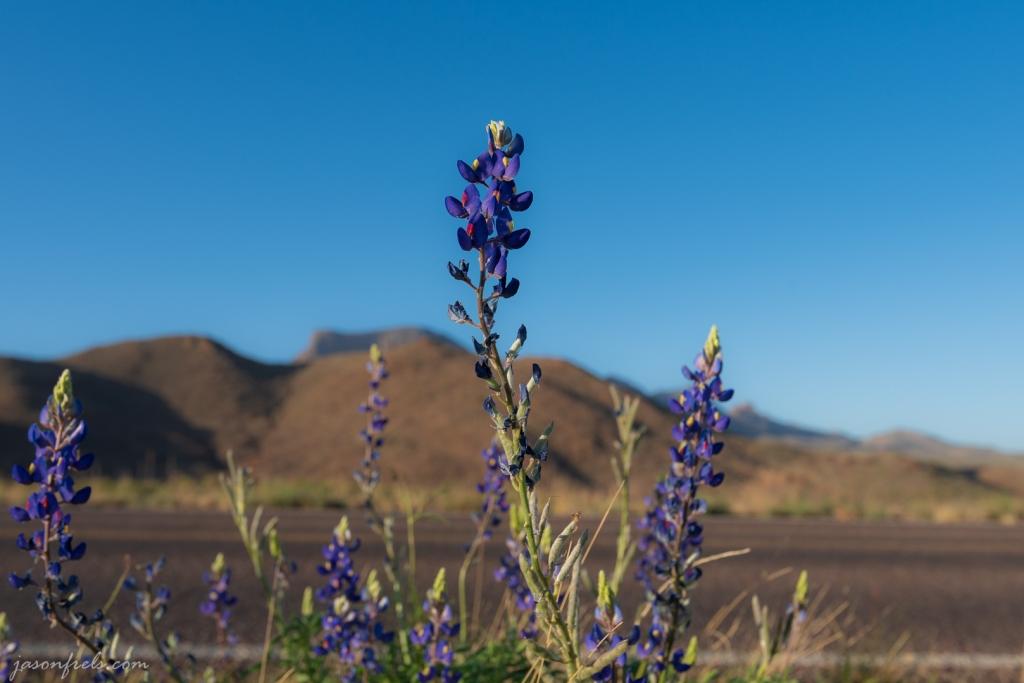 Bluebonnet Along Road in Big Bend National Park